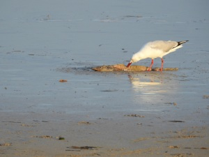17-12-seagull-with-catch-north-broulee-1