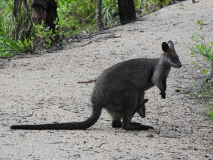 17-12-swamp-wallaby-with-joey-eurobodalla-regional-botanic-gardens-2