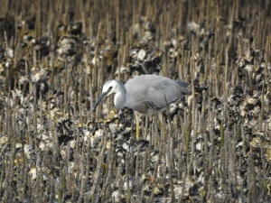 17-12-white-faced-heron-3-candlagan-creek-1