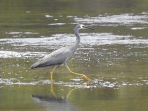 17-12-white-faced-heron-candlagan-creek-2