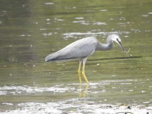 17-12-white-faced-heron-with-catch-candlagan-creek-3