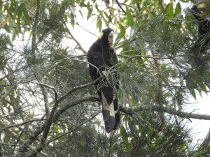 17-12-yellow-tailed-black-cockatoo-candlagan-creek-3