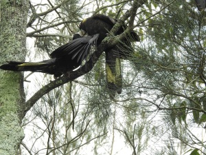 17-12-yellow-tailed-black-cockatoo-adult-feeding-immature-candlagan-creek-4