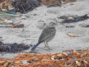 18-01-26-pipit-north-broulee-4