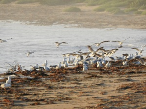 18-01-29-seagulls-feeding-on-grubs-at-sunrise-on-north-broulee-beach-4