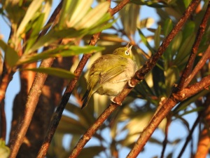 18-01-30-silvereye-at-sunrise-at-north-broulee-1