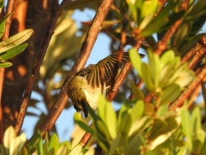 18-01-30-silvereye-preening-at-sunrise-at-north-broulee-4