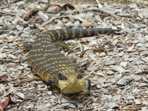 18-01-blue-tongue-with-stick-in-mouth-at-broulee-2