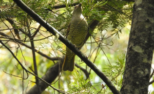 18-01-bower-bird-on-hill-track-near-playground-eurobodalla-regional-botanic-gardens