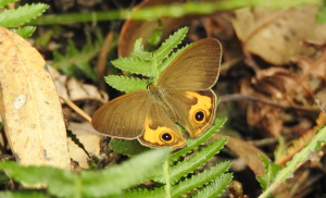 18-01-brown-ringlet-butterfly-on-hill-track-near-playground-eurobodalla-regional-botanic-gardens-3