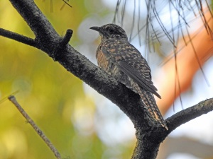 18-01-brush-cuckoo-candlagan-creek-1