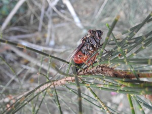 18-01-cicada-underside-at-candlagan-creek-2