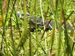 18-01-goanna-in-lake-at-eurobodalla-regional-botanic-gardens-2