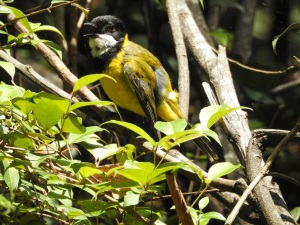 18-01-golden-whistler-beak-open-on-aboretum-track-near-forest-track-at-eurobodalla-regional-botanic-gardens-1