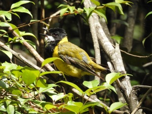 18-01-golden-whistler-beak-open-on-aboretum-track-near-forest-track-at-eurobodalla-regional-botanic-gardens-4