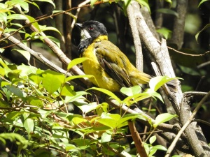 18-01-golden-whistler-on-aboretum-track-near-forest-track-at-eurobodalla-regional-botanic-gardens-5