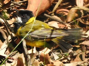 18-01-golden-whistler-sunbaking-near-aboretum-track-near-forest-track-at-eurobodalla-regional-botanic-gardens-2