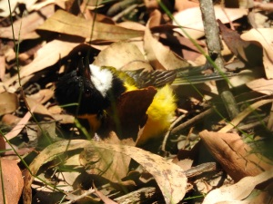 18-01-golden-whistler-sunbaking-near-aboretum-track-near-forest-track-at-eurobodalla-regional-botanic-gardens-5