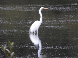 18-01-great-egret-at-candlagan-creek-1