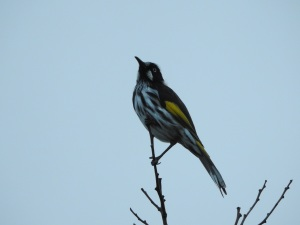18-01-new-holland-honeyeater-north-broulee-1