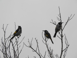 18-01-new-holland-honeyeaters-north-broulee