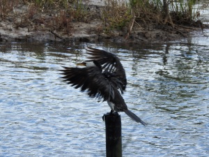 18-01-pied-cormorant-1-at-tomakin