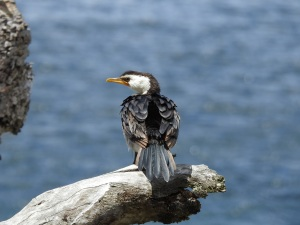 18-01-pied-cormorant-2-at-tomakin-2