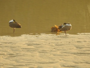 18-01-spur-winged-plovers-prrening-at-sunrise-at-candlagan-creek-16