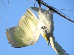 18-01-sulphur-crested-cockatoo-acrobat-on-palm-tree-at-broulee-2