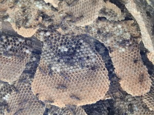 18-01-wasp-nest-moruya-heads-2