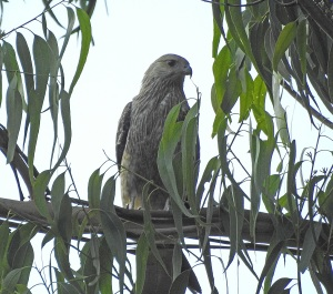 18-01-whistling-kite-j-at-mogo-8
