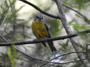 18-01-yellow-robin-on-aboretum-track-near-forest-track-at-eurobodalla-regional-botanic-gardens-2