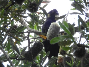 18-01-yellow-tailed-black-cockatoo-at-candlagan-creek-1