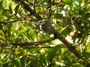 2-17-06-brown-thornbill-bodalla-2