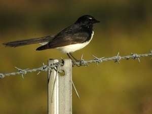 2-17-06-willie-wagtail-bodalla-3