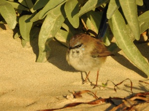 3-17-04-blue-wren-changing-north-broulee