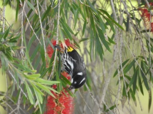 3-17-04-new-holland-honeyeater-at-tomakin-golf-course-3