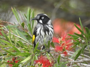 3-17-04-new-holland-honeyeater-at-tomakin-golf-course-6
