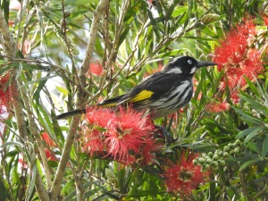 3-17-04-new-holland-honeyeater-at-tomakin-golf-course-7