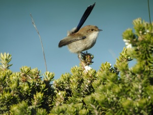 3-17-06-blue-wren-toragy-point-3