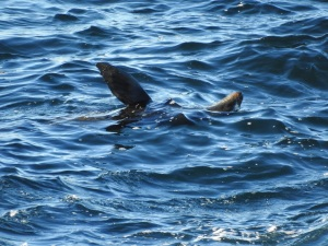 3-17-06-seal-swimming-upside-down-off-toragy-point-1