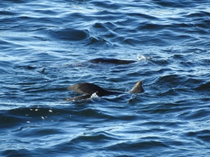 3-17-06-seal-swimming-upside-down-off-toragy-point-5