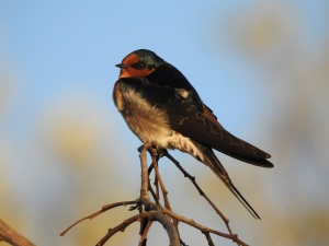 4-17-04-welcome-swallow-sunrise-north-broulee-2