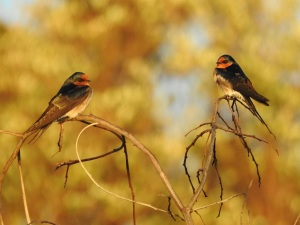 4-17-04-welcome-swallows-sunrise-north-broulee-1
