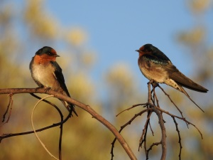 4-17-04-welcome-swallows-sunrise-north-broulee-7