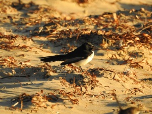 4-17-04-willy-wagtail-north-broulee-1