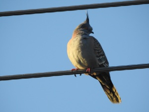 4-17-06-crested-pigeon-at-sunrise-broulee