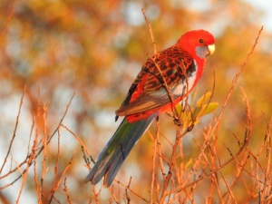 4-17-06-crimson-rosella-at-sunrise-at-north-broulee-5