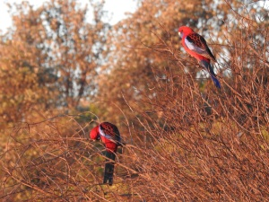 4-17-06-crimson-rosellas-at-sunrise-at-north-broulee