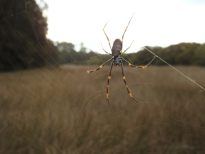 5-17-06-golden-orb-weaver-spider-candlagan-creek